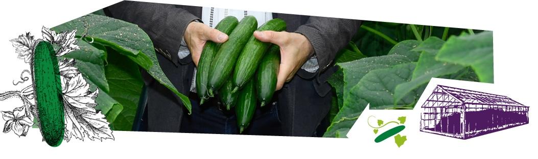 La récolte des concombres de serre Kultive : gros plan sur les mains d'un producteur dans sa serre, tenant des concombres.