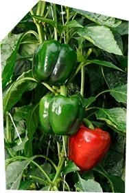 Gros plan sur deux poivrons verts et un poivron rouge en train de pousser à la verticale dans la serre, sur leur pied de poivron.