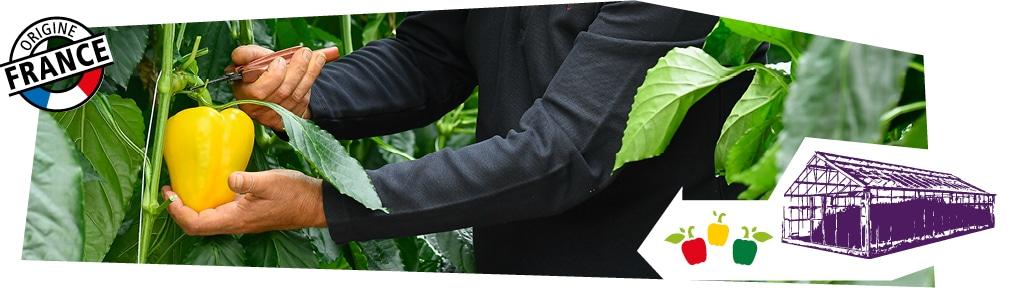 Gros plan sur les mains d'un producteur dans sa serre, en train de cueillir un poivron jaune avec un mini-sécateur. Logo origine France superposé sur l'image.