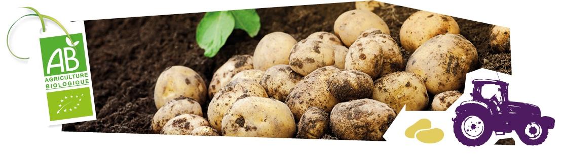 La culture des pommes de terre bio origine france Kultive
