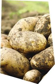 La récolte des pommes de terre bio origine France Kultive