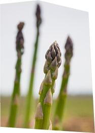 Gros plan sur des asperges vertes en train de pousser en plein champ