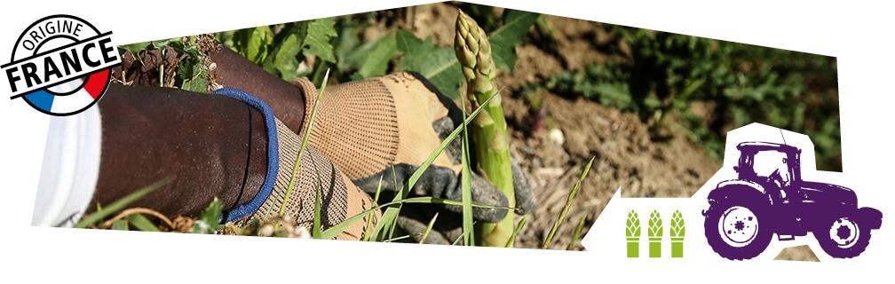 Gros plan sur les mains d'un producteur en train de cueillir une asperge en plein champ, accompagné du logo origine France superposé sur l'image.