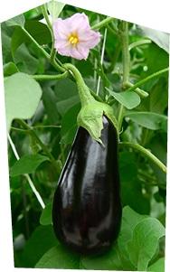 Gros plan sur une aubergine de serre en train de pousser.