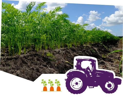 Gros plan sur les carottes des Landes en train de pousser dans leur champ