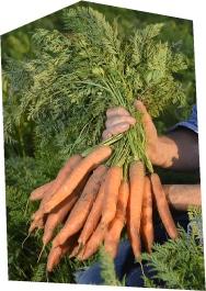 Gros plan sur une botte de carotte cultivée en plein champ, tenue par un producteur