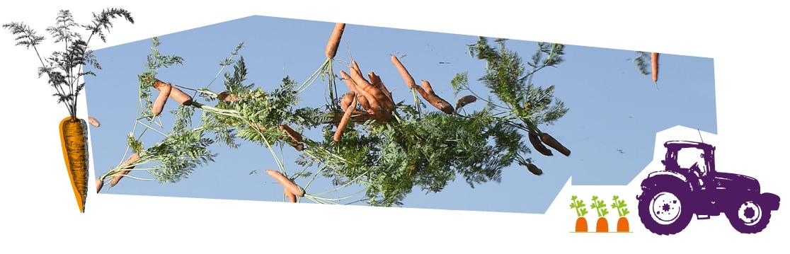 Une joyeuse botte de carottes lancée dans les airs au-dessus du champ.