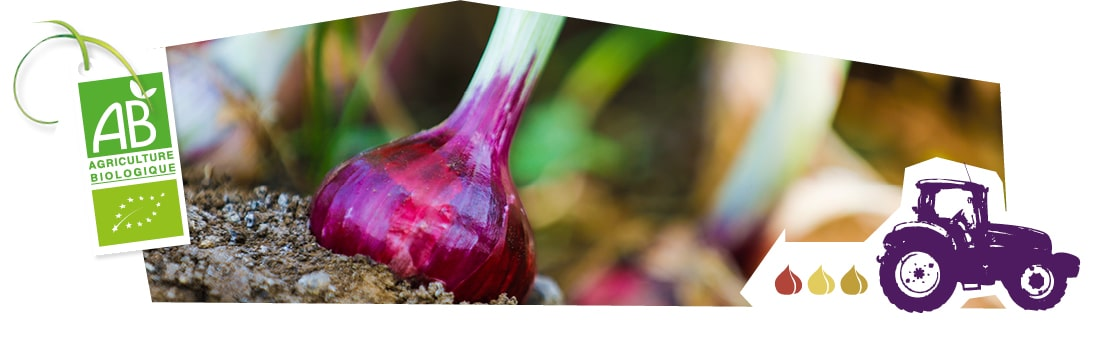 Gros plan des oignons rouges bio en train de pousser en plein champ, accompagnés du logo du label Agriculture Biologique superposé sur l'image