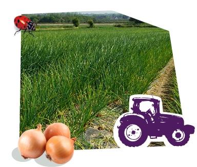 Champ de condiments bio Kultive, cultivé grâce au savoir-faire des producteurs
