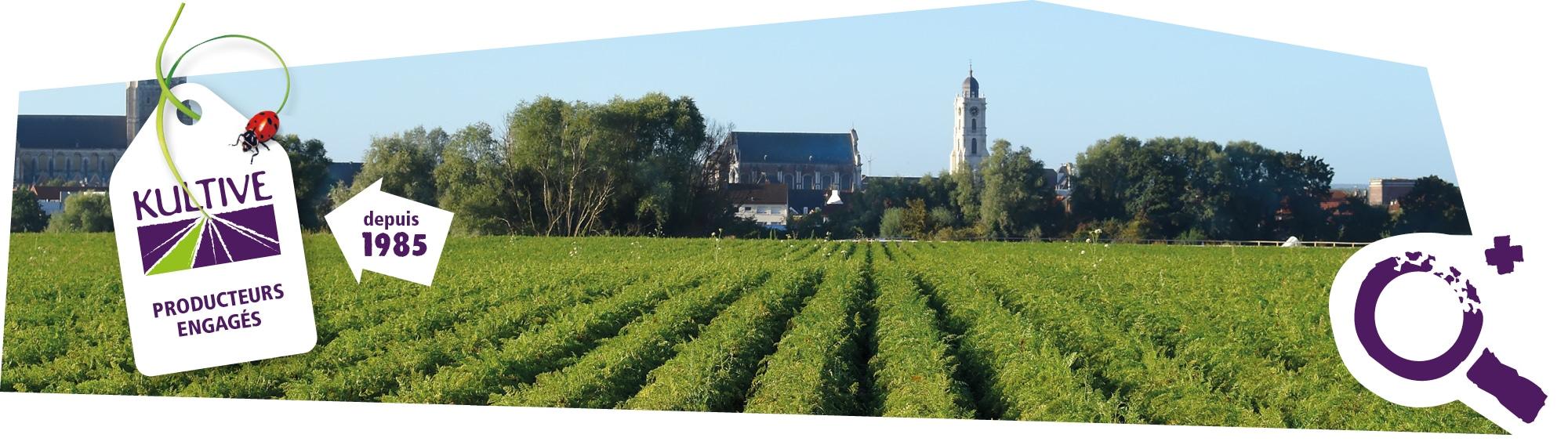 Photo d'un champ de carottes des Haut-de-France, sous le soleil. Accompagné d'une étiquette sur l'image : Kultive, producteurs engagés depuis 1985.