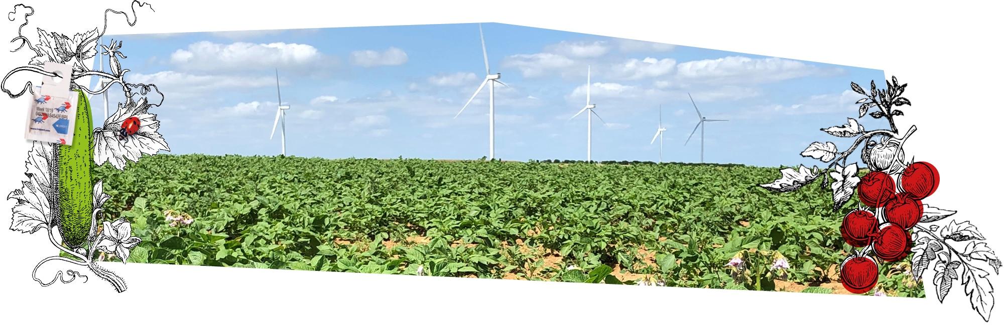 Champ de pommes-de-terre avec des éoliennes en arrière-plan : Kultive trouve les moyens pour produire mieux que bien
