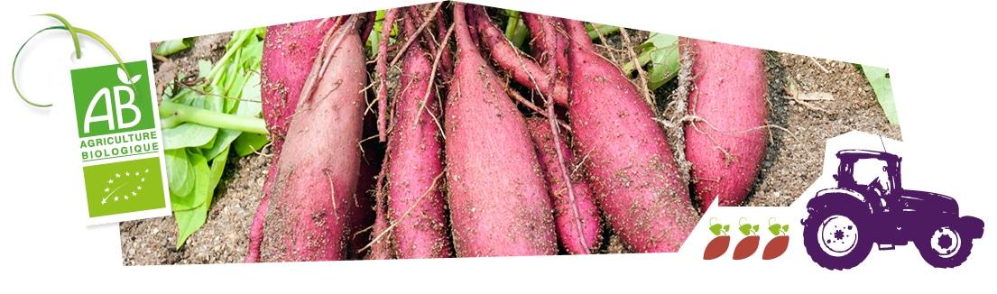 Gros plan sur les patates douces cueillies en plein champ, accompagnées du logo du label Agriculture Biologique superposé sur l'image