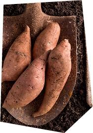 Gros plan sur des patates douces bio Kultive, posées sur une pelle