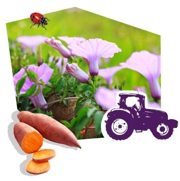 Les plans de patate douce bio en fleurs, cultivés grâce au savoir-faire des producteurs