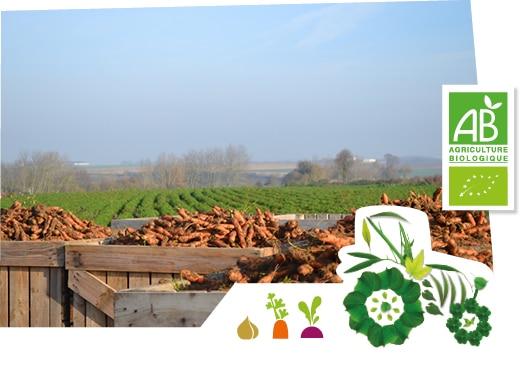 Champ de carottes des Hauts de France, accompagné du logo du label agriculture biologique