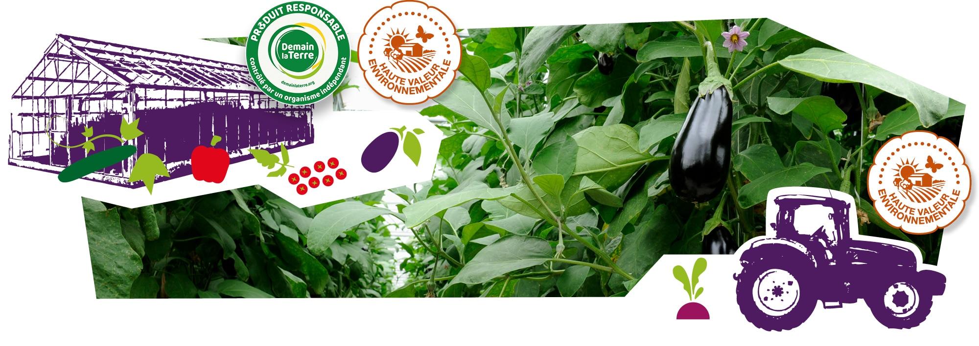 Plans d'aubergine dans leur serre, fleurs et aubergines en train de mûrir, accompagnés des logos des labels Produire mieux que bien et HVE, superposés sur l'image.