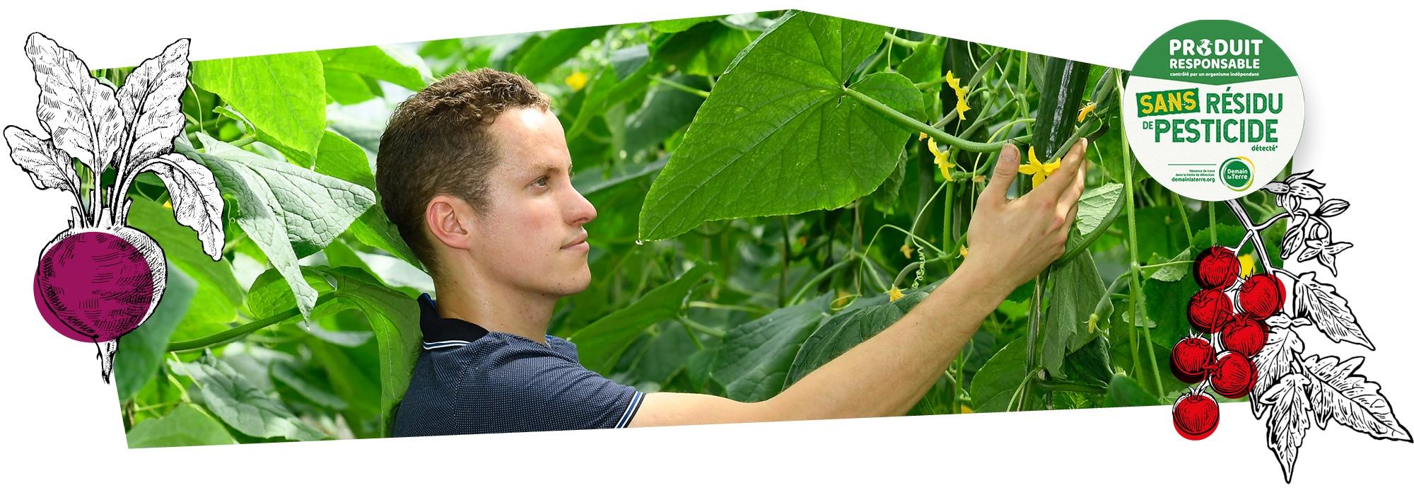 Un producteur en train de cueillir des concombres dans la serre, accompagné du logo du label Sans résidu de pesticide superposé sur l'image.