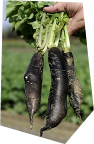 Gros plan sur une botte de radis noirs, tenue par un producteur en plein champ