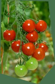 Gros plan sur une grappe de tomates-cerises rouge et verte en train de mûrir dans la serre.