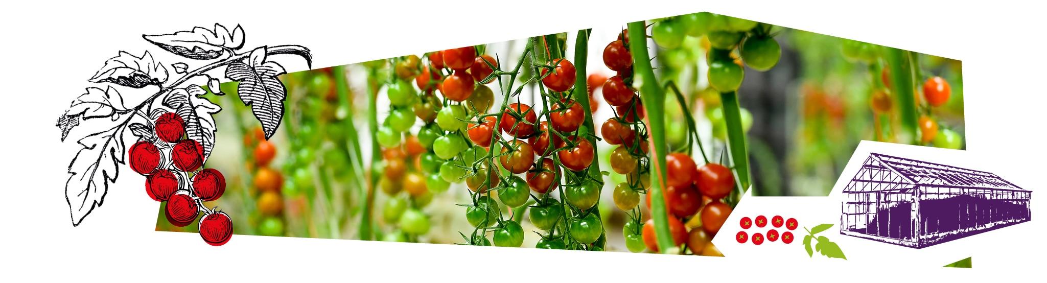 Gros plan sur les grappes de tomates-cerises vertes et rouges en train de mûrir dans la serre.Gros plan sur les grappes de tomates-cerises vertes et rouges en train de mûrir dans la serre.