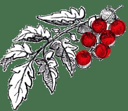 Illustration des tomates-cerises Kultive